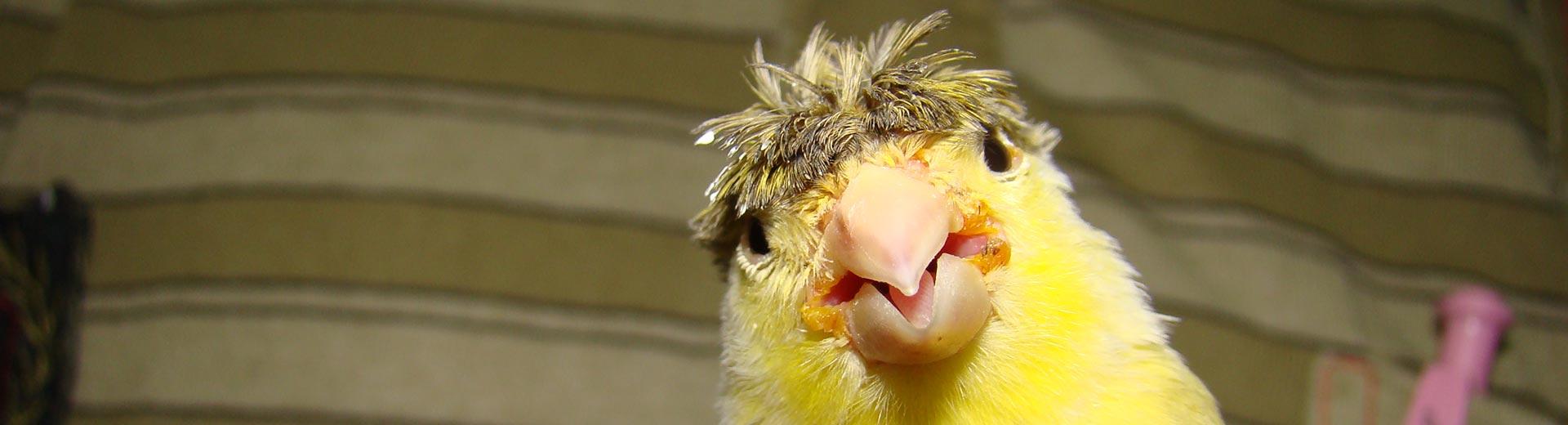 Vogels - kanarie