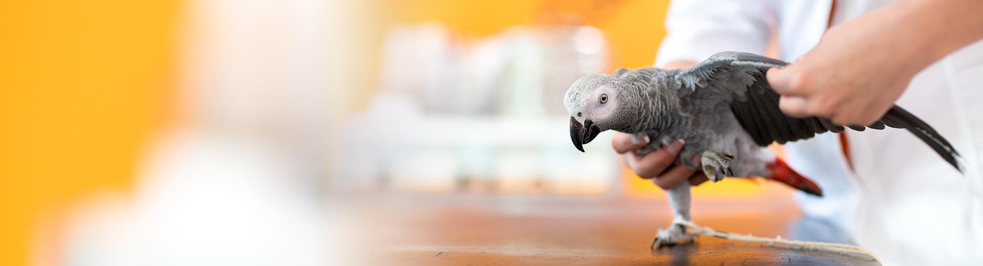 Vogels - papegaai